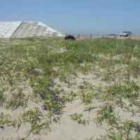 海浜植物保護区@名取市閖上海岸