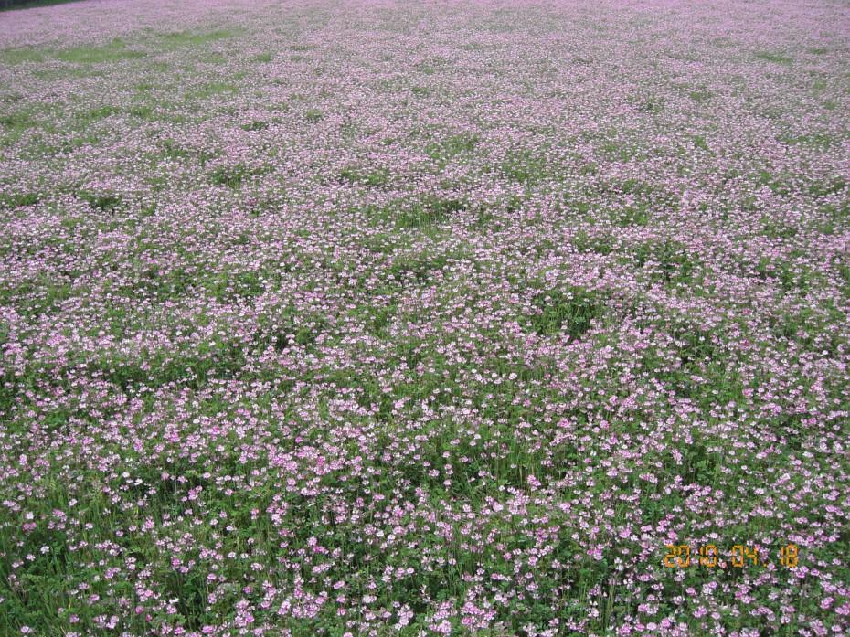 レンゲ畑 ②